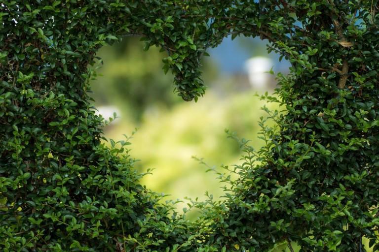 Sydämen muotoinen kolo vihreässä pensasaidassa